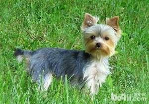 如何解决约克夏便便粘在毛上的问题-成犬饲养